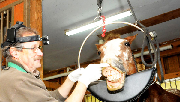 Dr. David Zimmerman works on the teeth of a local equine. (photo by Kirk Gollwitzer)
