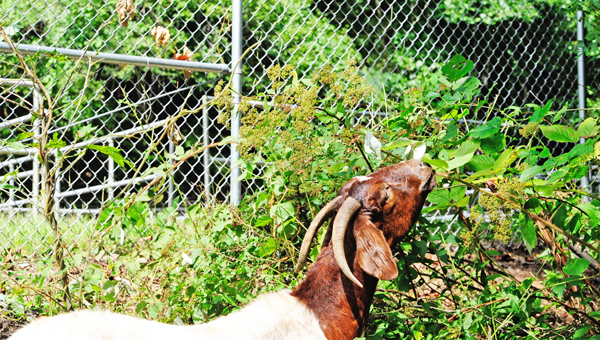 A goat munches away at kudzu vines at the Saluda water treatment plant. (photo by Mark Schmerling)